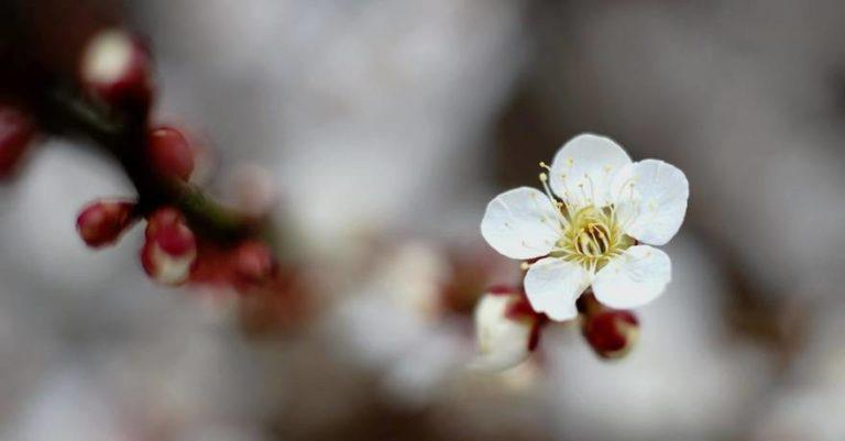 Baika – fleurs de prunier